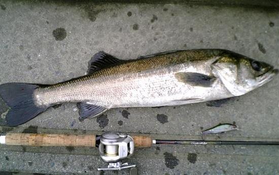 多摩川 シーバス釣り